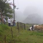 牛がいました