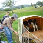 かわいい子牛もいました